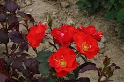 rose john franklin